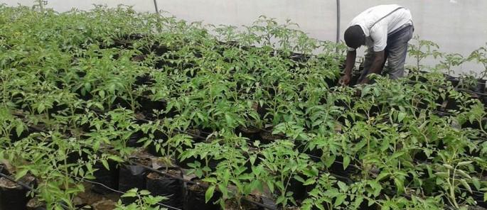 Tomatoes Nov 2014 1